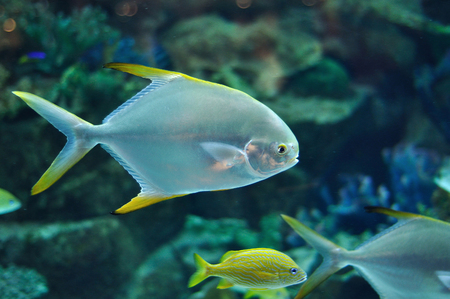 platax: Fish with silver body and yellow flippers similar to platax or Pomfret in salwater aquarium Stock Photo