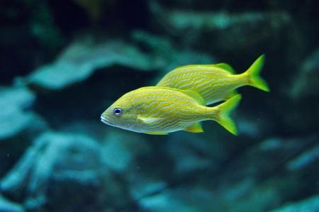 grunt: Blue stripe grunt in tropical waters