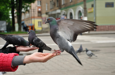 City pigeon sitting on the woman hand photo