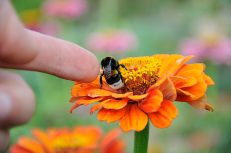 stoking: Bumblebee on the orange flower of zinnia and finger stoking the insect