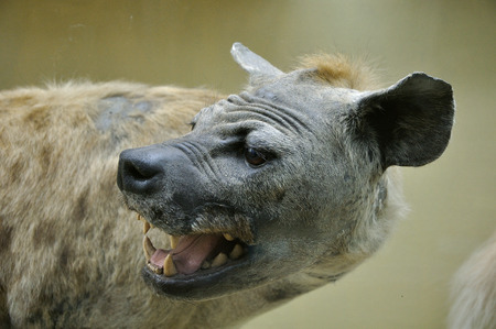 Close-up portrait of Dummy of african hyena photo