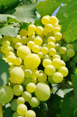 avalanche of round green grape in bright sunlight photo
