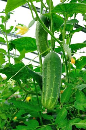 greeen: Big ripe greeen cucumber growing in hothouse