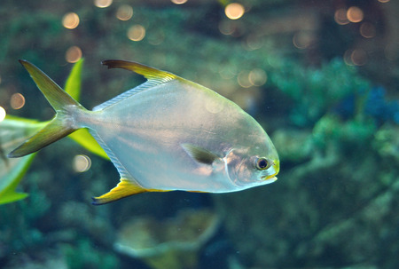 platax: Fish with silver body and yellow flippers similar to platax or Pomfret  in salwater aquarium