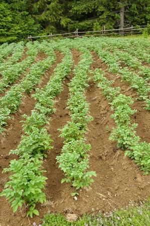 sil: Rows of growing potato on plantation in ukrainian Carpatian Stock Photo