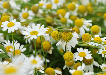 Grasshopper on chamomile flower growing on the field photo