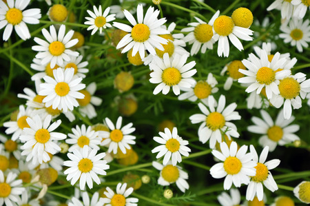 Top view of bright chamomile flowers growing on the field photo