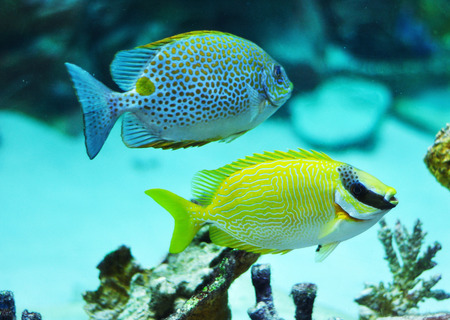 rabbitfish: Masked Rabbitfish - Siganus puellus and golden rabbitfish in blue water od aquarium