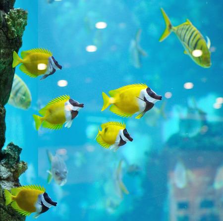 rabbitfish: several foxface fish in blue water of aquarium