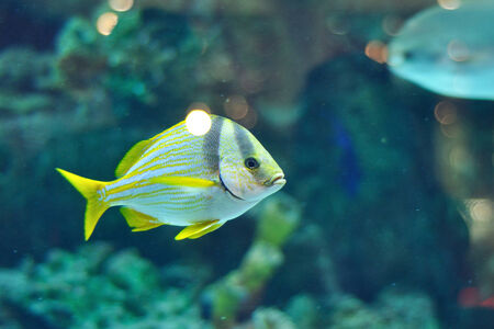 grants: Porkfish fish from grants in saltwater aquarium