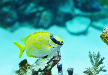 rabbitfish: Masked Rabbitfish - Siganus puellus in blue water od aquarium
