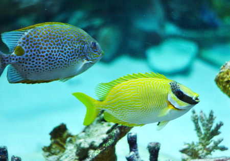 Masked Rabbitfish - Siganus puellus and golden rabbitfish in blue water of aquarium Stock Photo