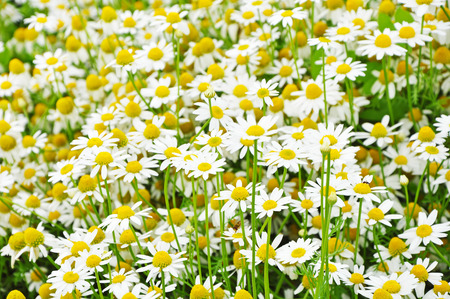 Bright background of chamomiles growing on the field