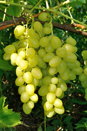 Growing branch of green grape in bright sunlight photo