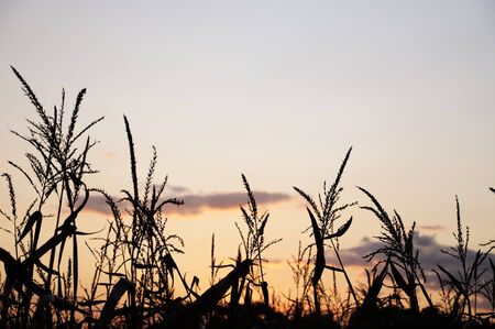 Evening sun behind silhouette of corn field photo