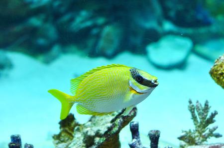 rabbitfish: Masked Rabbitfish