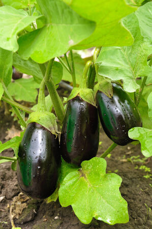 Three purple eggplants on the bush with water drops