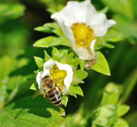 bee on white flower: Bee pollinating the white flower of strawberry Stock Photo