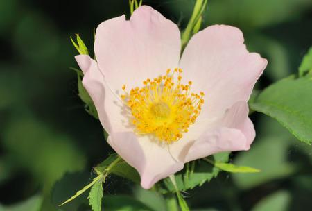 briar bush: Macrophotography of briar flower on the bush