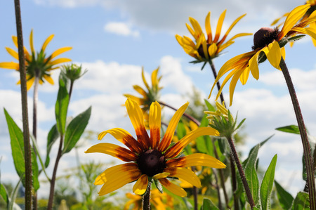 coneflowers: Flowers of Rudbeckia in front of blue sky