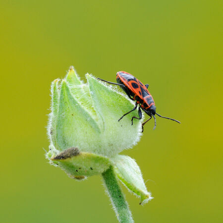 red and black firebug on the bud flower photo