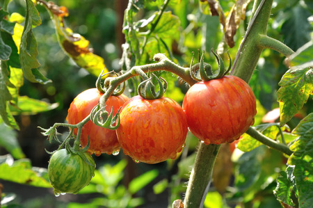 farm fresh: Branch of striped tomatoes with water drops