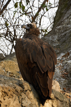 accipitridae: The cinereous vulture is sitting on the rock in Kyiv zoo