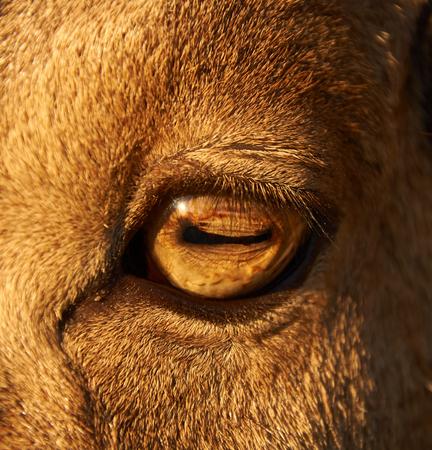 sheep eye: close-up photo of adult male sheep eye Stock Photo