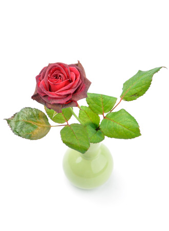 withering rose in a small vase isolated over white background Stock Photo