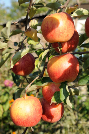 Branch of tree with many bright red apples Stock Photo