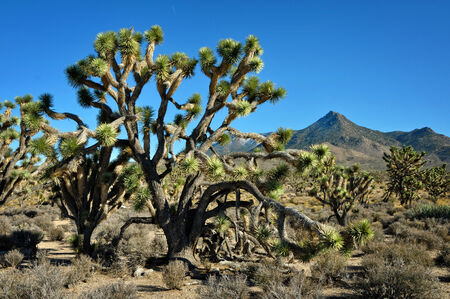 trees with thorns: The Joshua tree in Arizona desert and mountain behind Stock Photo
