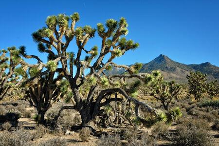 The Joshua tree in Arizona desert and mountain behind Фото со стока