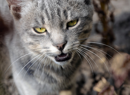 meowing: Portrait of grey cat meowing with bright green yellow eyes Stock Photo