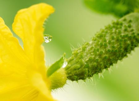 ovario: reflejo en una gota en flor amarilla de ovario de pepino