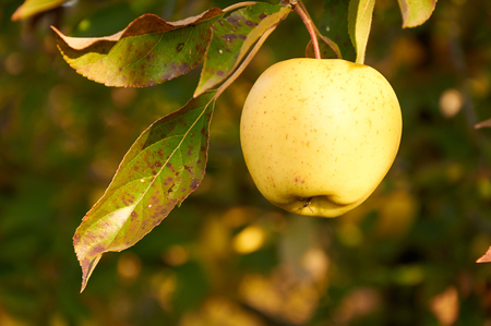 hintergrund gr�n gelb: Reife gr�ne gelbe Apfel auf dem Zweig Lizenzfreie Bilder