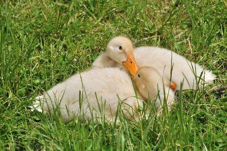 flappers: Dos patitos ponen en la hierba