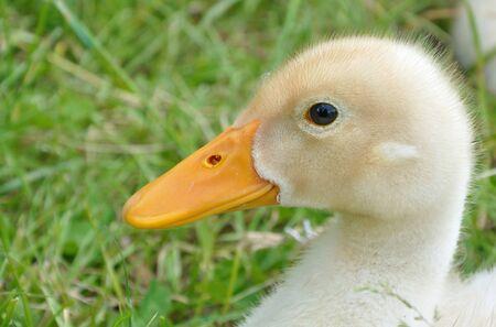 flappers: cabeza de pato para sentarse en la hierba cerca