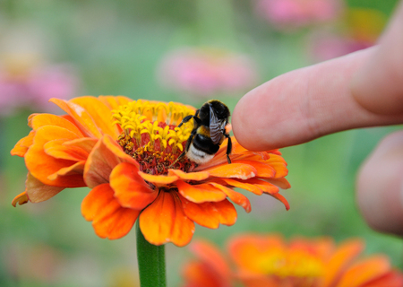 Bumblebee on the orange flower of zinnia and finger stoking the insect