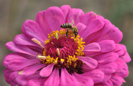 fertilize: Bee on the pink flower of zinnia