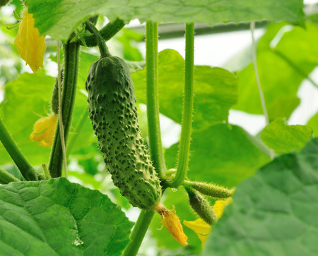 ovaries: young cucumbers growing on the rod and cucumber ovaries behind Stock Photo