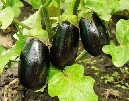 sinlight: three big purple eggplants growing on the bush