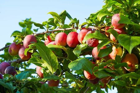 ripening: Branch of plum tree with many ripening fruits Stock Photo