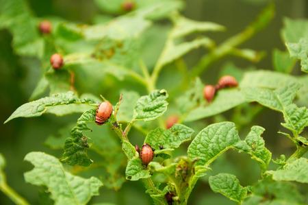 nasty: nasty young Colorado beetles on potato leaves