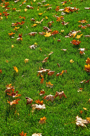 leaves green: Fallen yellow maple leaves on green lawn Stock Photo