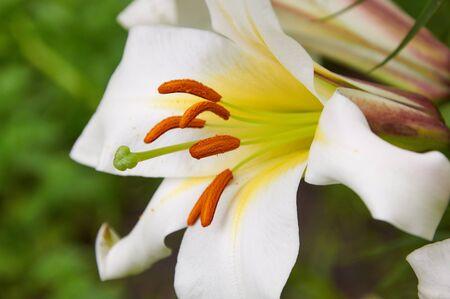 lilia: Close-up photo of beautiful white lily flower Foto de archivo