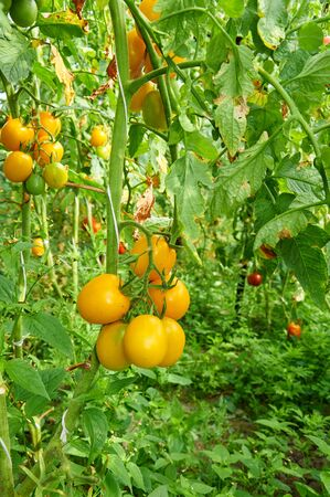 vegetable garden: Vegetable garden with plants of yellow tomatoes