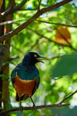 superb: Superb starling sitting on the tree and singing Stock Photo