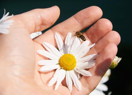 p�querette: Marguerite blanche et des abeilles dans une main