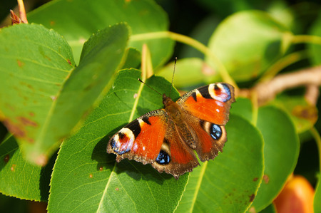 spread wings: Colourful peacock butterfly is sitting on green leaves