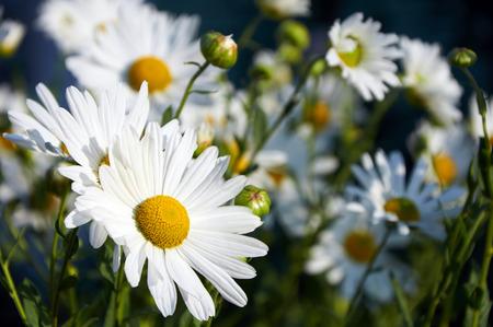 chamomiles: Beautiful big flowers of decorative chamomiles growing